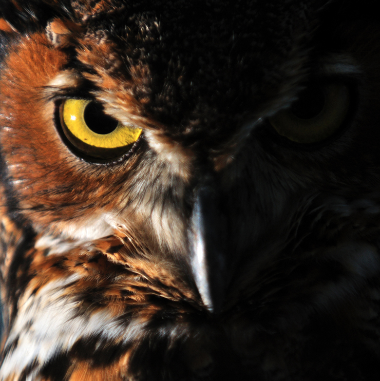 Portrait of a great horned owl, Bubo virginianus / Keith Ladzinski / National Geographic Creative / Bridgeman Images