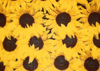 Sunflowers, Sandro Sodano (b.1966) / Private Collection / © Special Photographers Archive