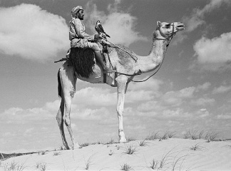 Profile portrait of an Arab falconer, in Al Khatam sands near Al Ain, United Arab Emirates, December 20, 1948 – January 27, 1949 (b/w photo), Thesiger, Wilfred Patrick (1910-2003) / Pitt Rivers Museum, Oxford, UK