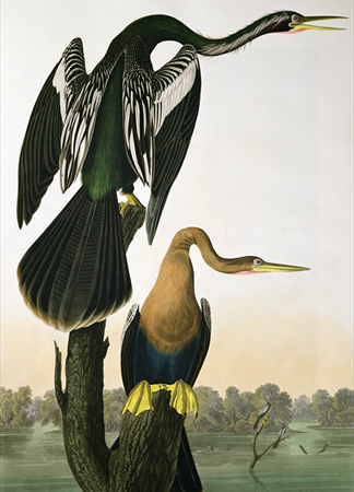 BBC195913 Black-Billed Darter, from 'Birds of America', engraved by Robert Havell, 1836 by John James Audubon/ Private Collection