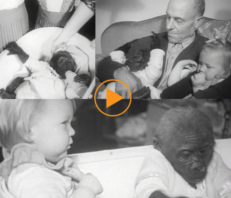 Bobo, a baby gorilla, is raised as one of the family, USA c.1952/ Bridgeman Footage