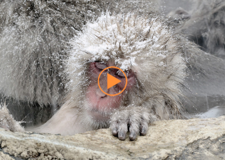 The Japanese Macaque (Snow) Monkeys enjoying a bath in the Onsen of Jigokudani Yaenkoen , Nagano Prefecture 6/8