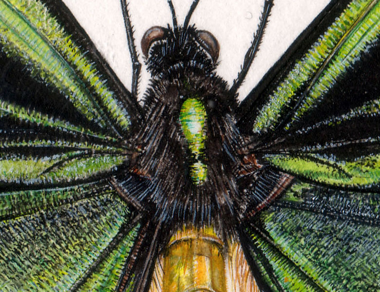 Birdwing Butterfly (detail), 2006 (w/c on paper), Rachel Pedder-Smith (Bridgeman Studio) / Private Collection