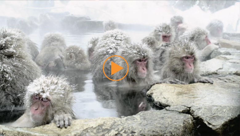 The Japanese Macaque (Snow) Monkeys enjoying a bath in the Onsen of Jigokudani Yaenkoen , Nagano Prefecture, Honshu Island, Japan.