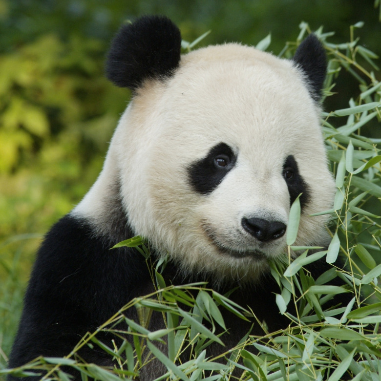 Panda with bamboo / Photo © National Zoological Park, Smithsonian Institution / Bridgeman Images