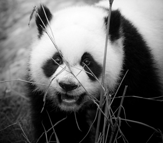 Baby Panda China, 2011 (b/w photo), Shaun Taylor McManus (Contemporary Artist) / Private Collection