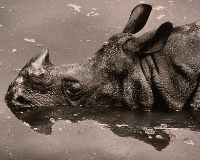 Head of Rhinoceros in Water by Wolfgang Suschitzky (b.1912) © Special Photographers Archive/ out of copyright