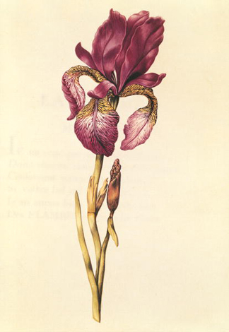 XIR212825 Iris, from 'La Guirlande de Julie', c. 1642 (w/c on vellum) by Nicolas Robert/ Private Collection, Giraudon