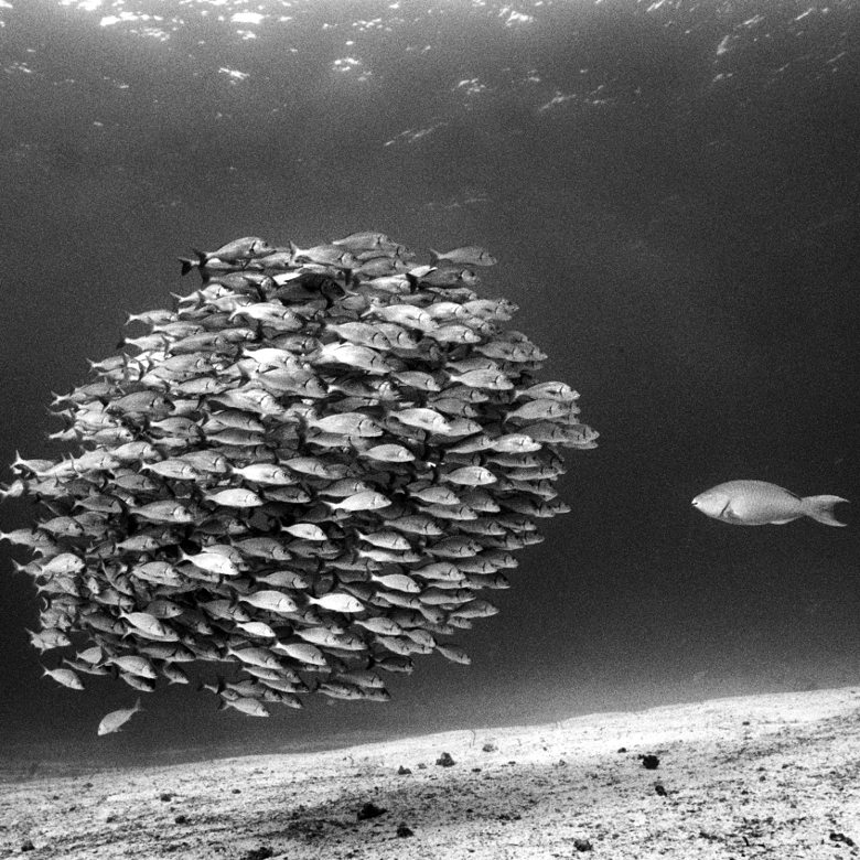 A lone parrotfish regards a school of grey grunts / David Doubilet / National Geographic Creative / Bridgeman Images